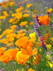 adc_website_front_page_california_poppies_by_wes_nelms_website_2009_sm